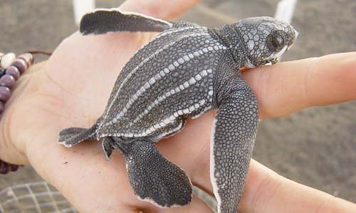 Leatherback hatchling ready to release.