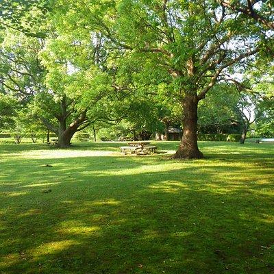 芝生の公演に桜の木が植わっています