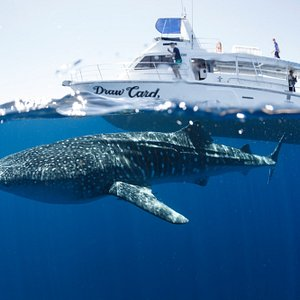 Whale Shark and Draw Card