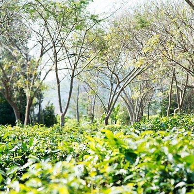 Our beautiful tea garden