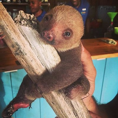 Baby sloth that was looking for her mother