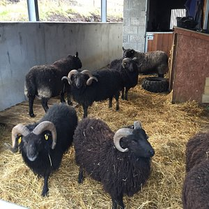 Black Cheviots and Hebridean sheep. 😊