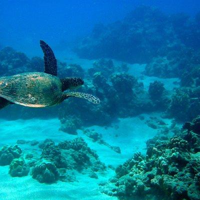 Hawaiian Green Sea Turtles can be seen during snorkeling!