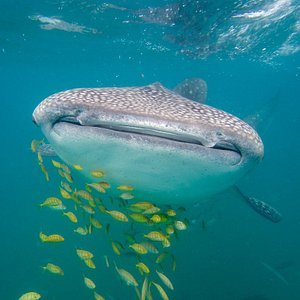A whale shark with a small school of pilot fish, common to see here in La Paz.