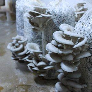 Una sala de fructificacion de Girgolas en Mundhongo
