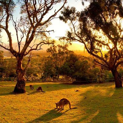 Kangaroos roaming the Sanctuary at sunset.