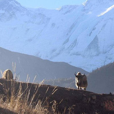 Photo taken of a yak grazing on the way back from Ice Lake in Manang.