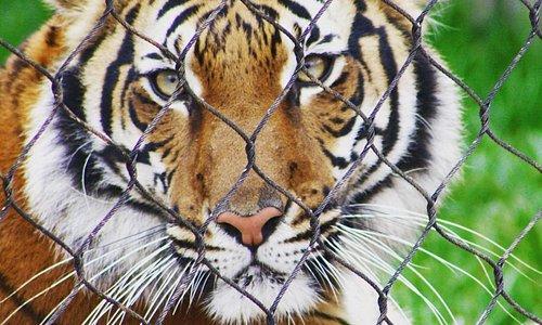 Female Malayan Tiger at Zoo Knoxville named Arya