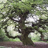 The 200-year old tree!