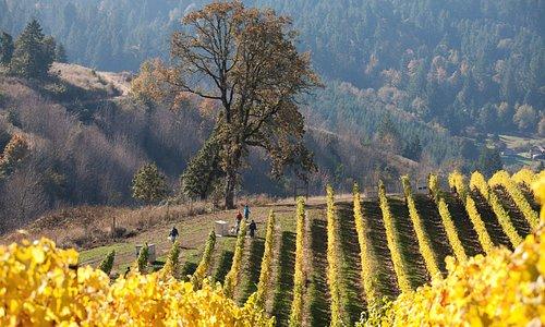 La Bohème Vineyard at harvest