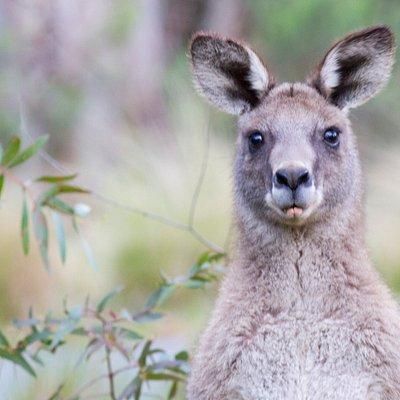 Tidbinbilla is home to many Eastern Grey Kangaroos