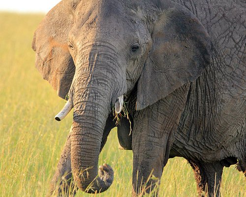 Old Tusker in the Mara