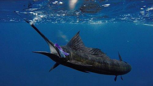 Underwater Sailfish
