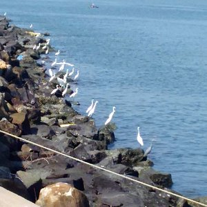 Two dozen Herons awaiting their catch; also sea gulls and crows wait.