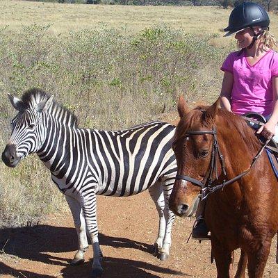 More close encounters with zebra