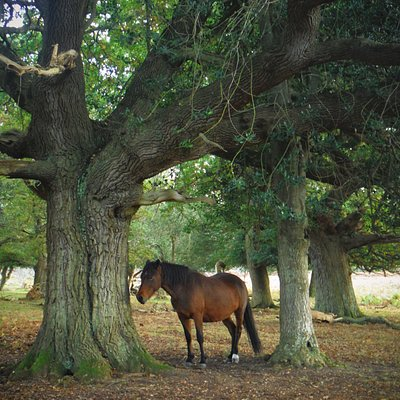 One of the lovely New Forest Ponies that roam free across the New Forest National Park
