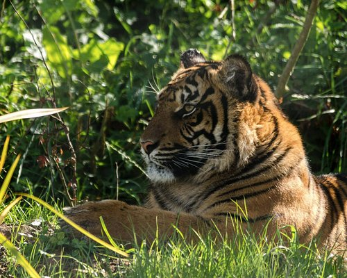 Watch our majestic endangered sumatran tigers
