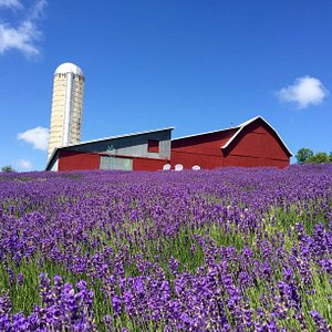 The barn and lavender fields