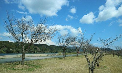 開花前の桜