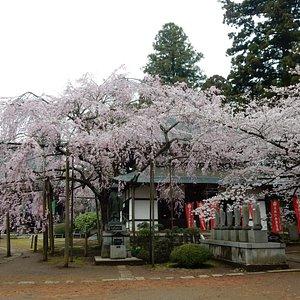 六地蔵寺の枝垂桜