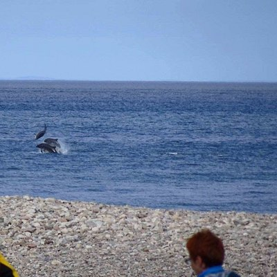 See bottlenose dolphins in the wild as they travel along the Moray Firth coastline