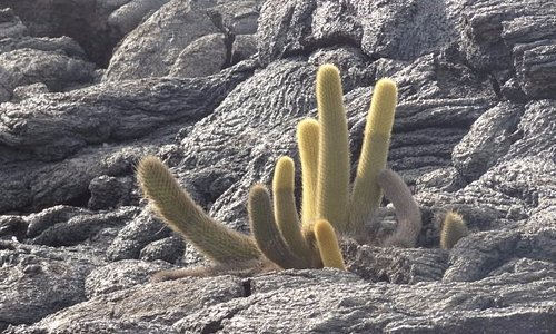 Cactus growing within the volcanic rocks.
