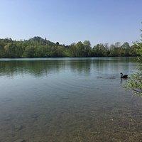 Cigno nero del lago