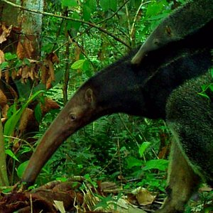 Anteaters are very common in the reserve