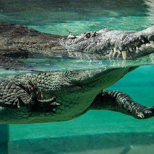 Our Croc exhibit in Florida: Mission Everglades