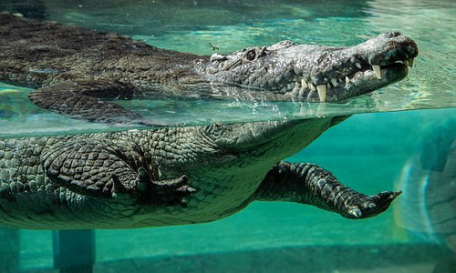 Our Croc exhibit in Florida: Mission Everglades