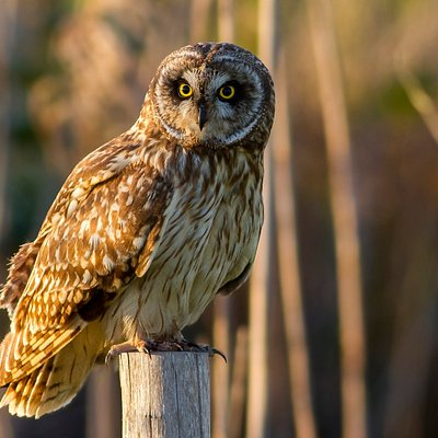 Short-eared Owl (birdwatching in Doñana, Seville)