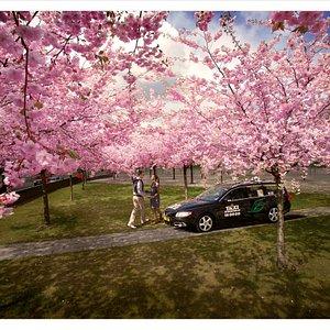 Cherry blossoms in Hammarby Sjöstad.