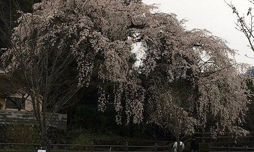 これで、1本桜 大きな広がりの冠様