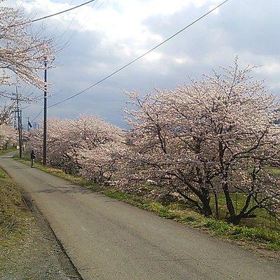 道路向かいの桜無かった