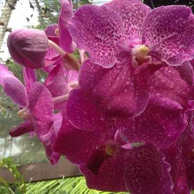 Orchid FLower @ Sleeping Giant Garden. Cruise Ship guests tour.