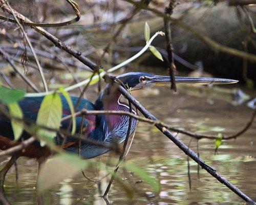 A rare bird according to our guide. Jungle tour by canoe, Tortuguero.