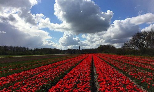 The Jacobuskerk tower as a backdrop to tulip fields near Rolde