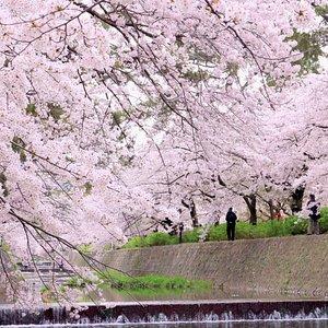 川沿いの桜