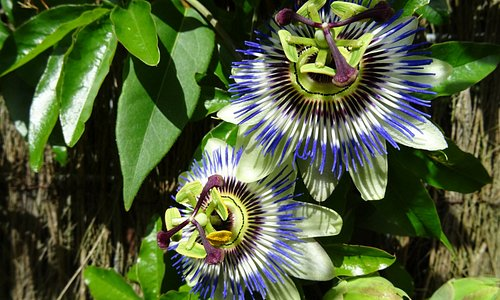 PASSIFLORA;ARTISKLAS SEPT 2016