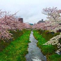 一の坂川桜並木 満開時