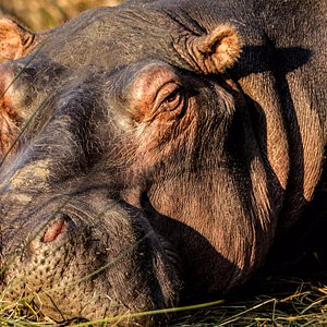 close up view of a hippo
