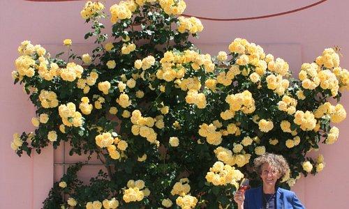 la nostra rosa nel momento di massima bellezza!!