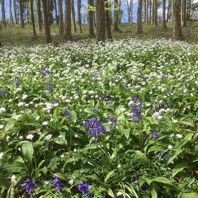 Bluebells and wild garlic in bloom