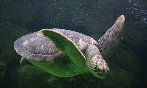 Enorme tartaruga simpática (adora ser fotografada)