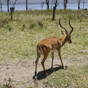 Enjoying the view of the Lake, then comes him :-)  Lake Nakuru National Park, Kenya