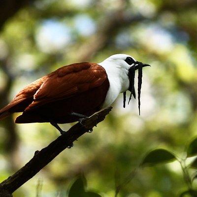 Three-wattled Bellbird-Pájaro Campana- Procnias tricarunculatus. Photo: Orlando Calvo