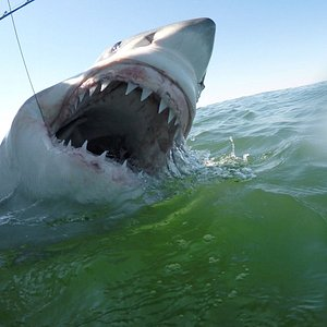 Great white shark tagged in March