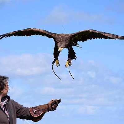 Marra, our magnificent White Tailed Eagle is our largest team member at 7ft 8 inches across the