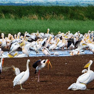 """""""Pelican in Lake Manyara"""""""