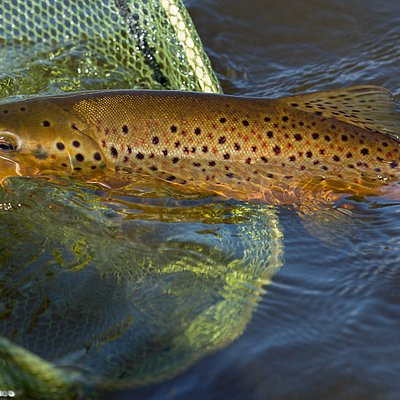 A Loch Eye trout comes to the net.
